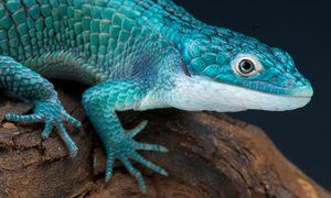 Europe to crack down on wildlife smugglers to protect rare lizard species