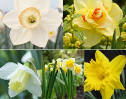 Five old favourite 'Daffodils' Much-loved with cheerful flowers, which are good for cutting, daffodils can be planted in clumps of drifts throughout the border as well as ...