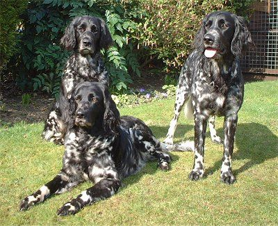 Large Munsterlanders.  This dog breed may explain my mutt's gorgeous coat.  Thank's to genetic testing!