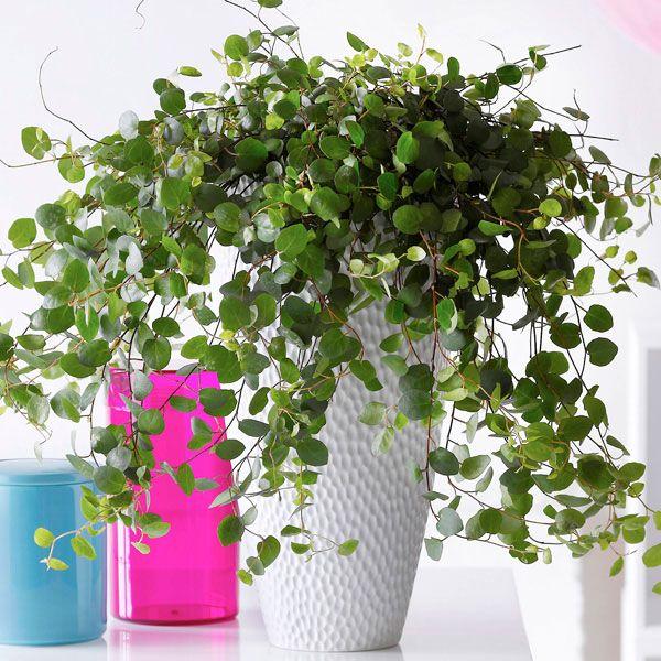 Maidenhair Vine Indoors Plants House Plants Indoor Indoor Vines