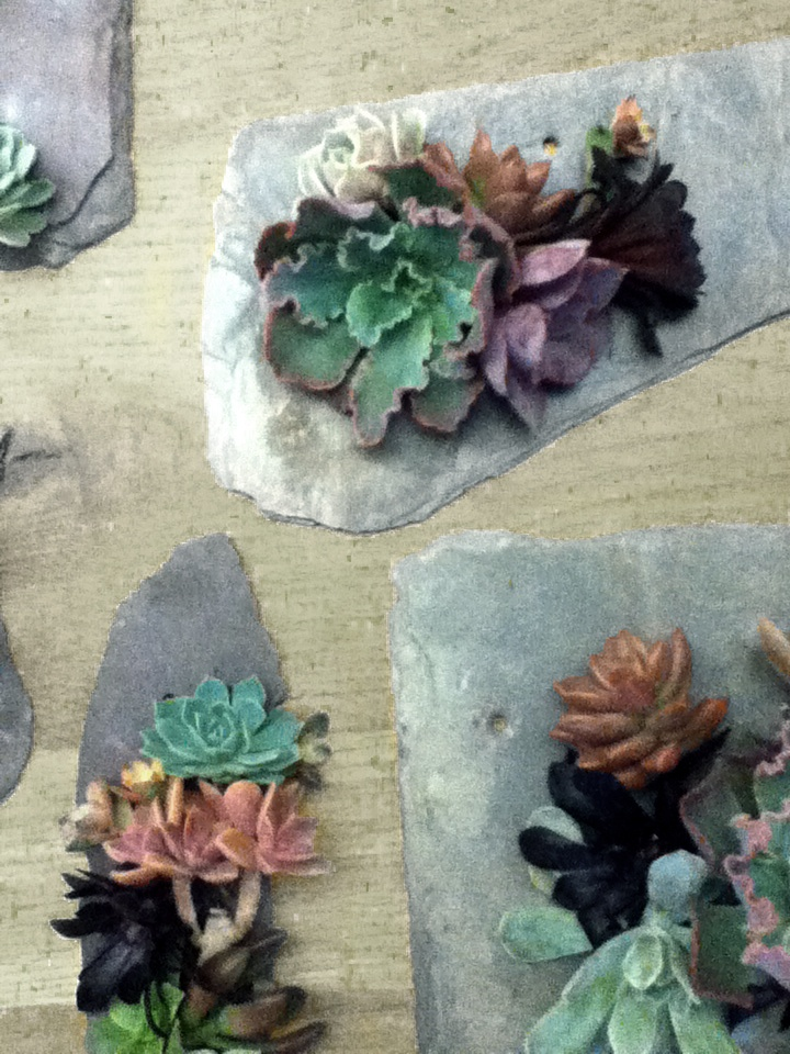 Our team is assembling Slate Mounted Succulents for our Westport store. The excitement is building!: Slate Mounted Succulents, Repins Succulents, Color, Botanical, Hardy Succulents, Live Succulents, Sweet Succulents