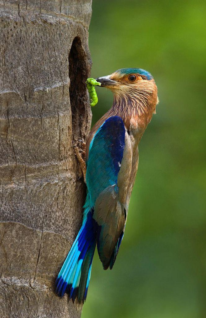 Bird - Indian Roller Bird | Flickr - Photo Sharing!