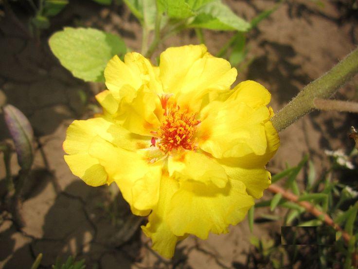 Портулак крупноцветковый Солнечная страна ЗолотойПортулак