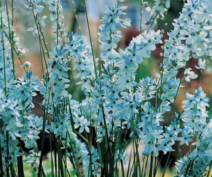 Ixia viridiflora  Flowering spring (October)
