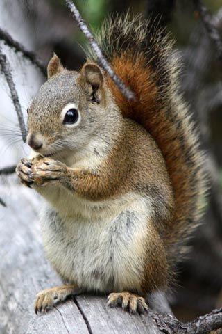 A squirrel, Jasper National Park (Canadian Rockies)