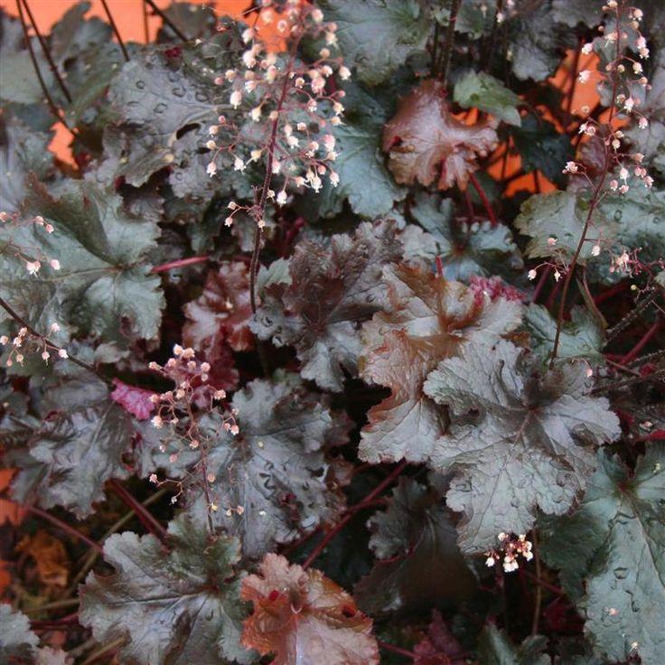 Heuchera 'Black Beauty' - striking dark foliage. Makes a good contrast to other foliage plants.