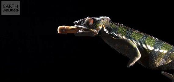 Chameleon unfurling tongue for a target.