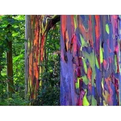 100 Semillas Frescas Eucalipto Arco Iris Eucalyptus Deglupta | Rey ...