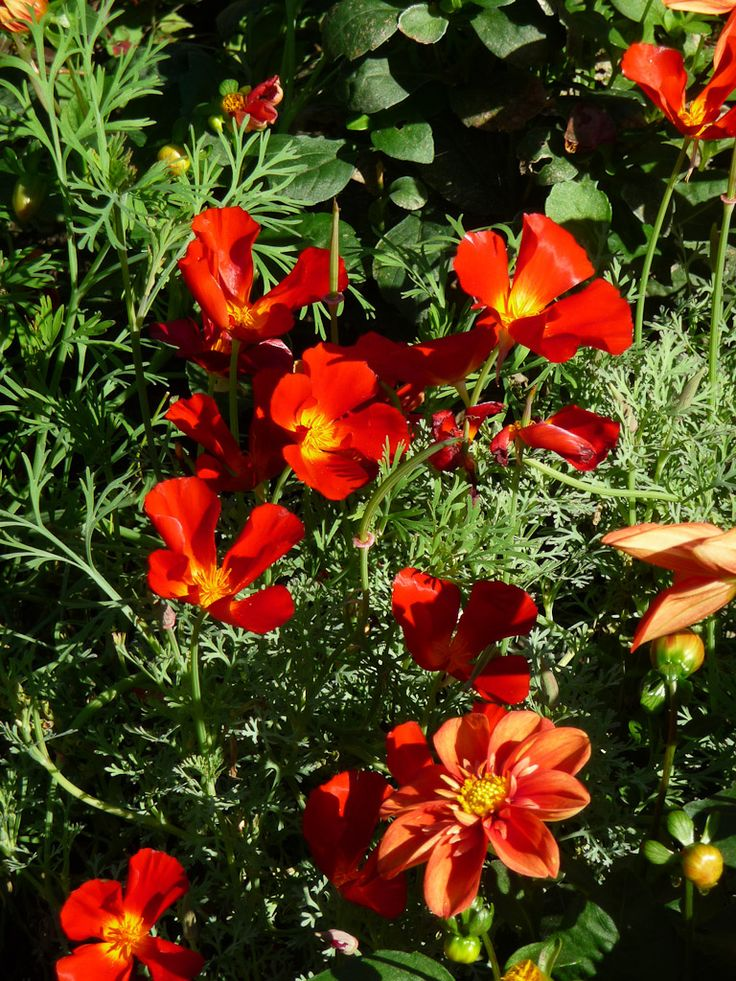 Pavot de Californie rouge (Eschscholtzia californica 'Red Chief'), Parc des Buttes-Chaumont, Paris 19e (75), 30 septembre 2012, photo Alain Delavie  http://www.pariscotejardin.fr/2012/10/pavot-de-californie-rouge-eschscholtzia-californica-red-chief/