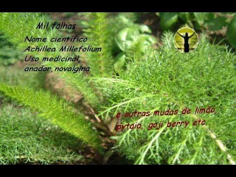 Planta novalgina,Physals,goji,tabaco,uva,oregano libanes,limao,abacateir...