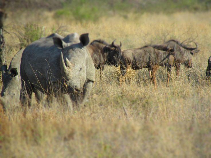 www.sunsafaris.com #Rhino #SabiSabi #Umkumbe #GameDrives #Africa #Kruger #SouthAfrica #Safari
