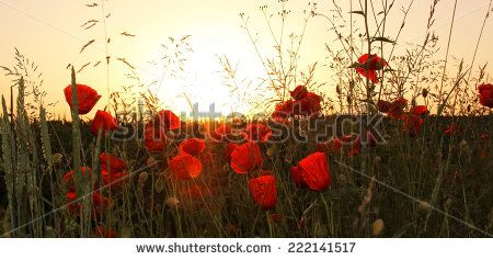 red poppies in the wheat fields, evening scenery - stock photo