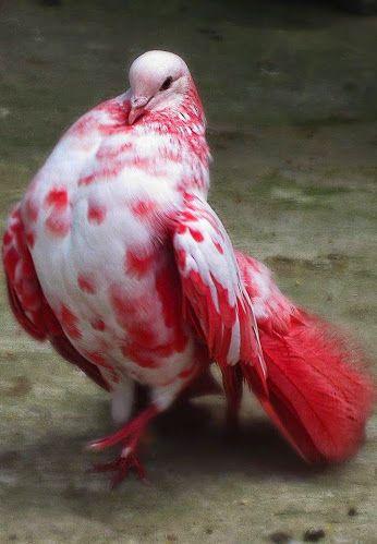 'Proud Pigeon' (2011) by photographer Susan Tong. Paradise Park Farm, Koh Samui, Thailand, 2011