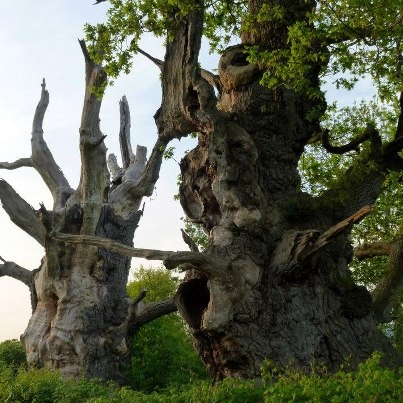 At Glastonbury - 2 very old ancient trees - over 2,000 years old called Gog and Magog....