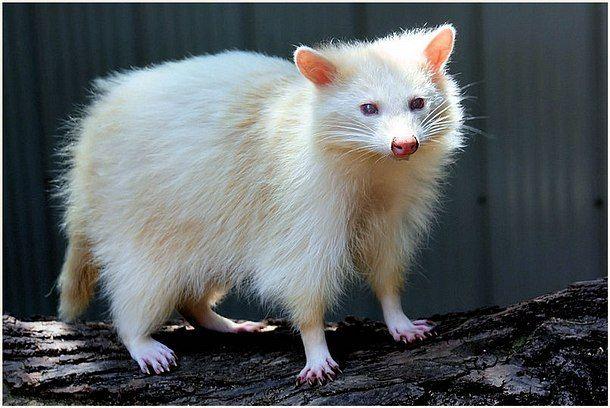 Complete Albino Big 105
