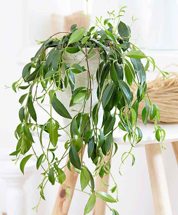 10 Plantes Retombantes d'Intérieur Indispensables à la Maison  Codonanthe crassifolia