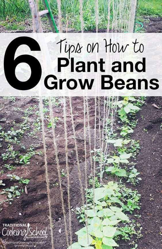 6 Tips For Growing & Planting Beans | If I had to choose one vegetable to grow, it'd be green beans. Beans are wonderful plants, providing benefits to our bodies and our garden soil. Through my many years of growing beans in my own garden, I have discovered a few tips to share with you on how to grow green beans. | TraditionalCookingSchool.com