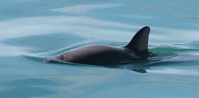 Critically Endangered Vaquita Porpoise