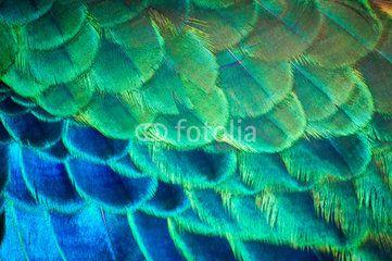 Search photos peacock