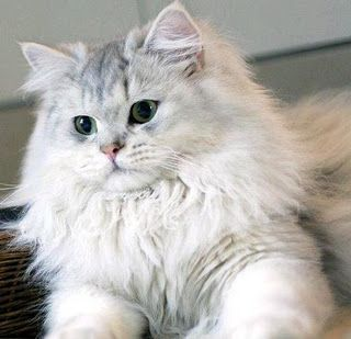 Siberian cat - lovely. Мъркането на котките лекува. В САЩ и Англия силно се препоръчват терапия с котка на хора, които имат сърдечно-съдово заболяване. Британски учени доказаха как мъркането на котенцата може да ни помогне при различни неразположения. Оказва се, че всъщност приятният звук може да облекчи доста болежки, разбира се, изключени са тежките заболявания, с които мъркащите любимци няма как да се справят. http://ezine.bg/
