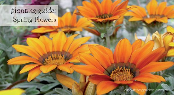 Australia Spring flower planting guide by regional zones...now what to plant NOW! #aboutthegarden.com.au  #grownow #flowers