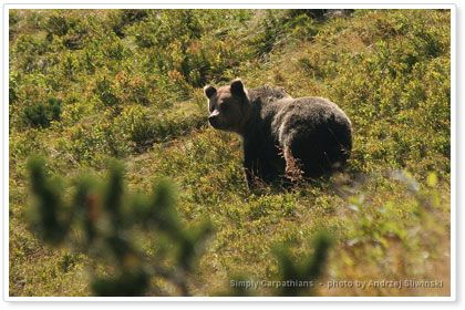 You can sometimes meet bear on the Tatra Mountains hiking trails.