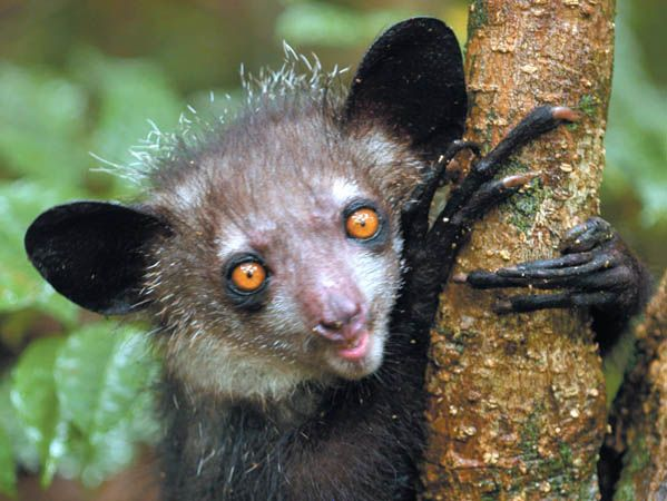 Credit: Edward E Louis Jr Daubentonia madagascariensis An aye-aye. The world's largest nocturnal primate is found only in Madagascar and well known for its unique method of finding food: it taps on trees to find grubs, then gnaws holes in the wood and inserts its elongated middle finger to pull the grubs out