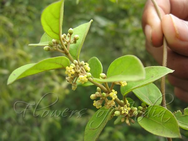 Excellent herb for diabetes
