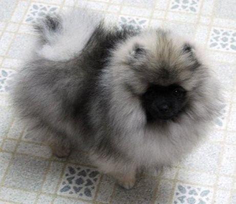 Wolf Sable Pomeranian - Looks like my Charlie Bear