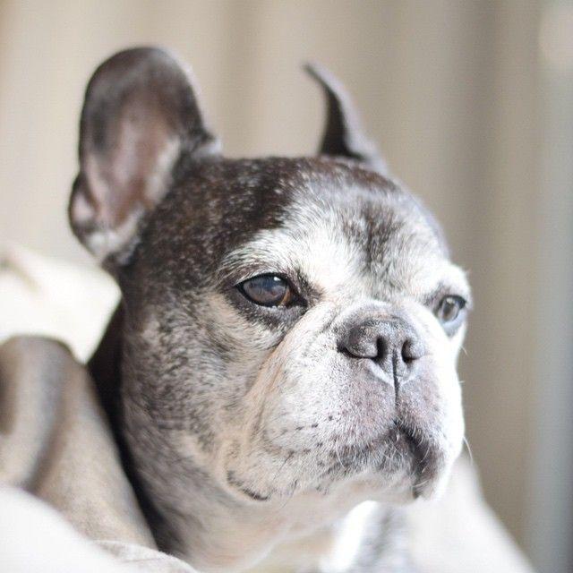 An 'Older' French Bulldog, ❤, via Batpig & Me Tumble It.