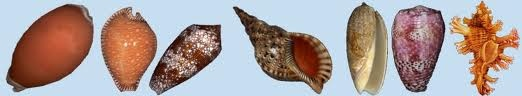 "You may find some help on our forum, in the ""Shells identification Help"" ...seashell-collector.com"