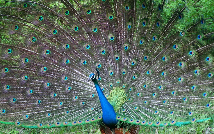 Peacock awesome HD Image view: Birds Wallpapers, Animal Pictures, Indian Peafowl, Bluetooth Wifi, Creative Writing, Animal Wallpapers, Desktop Wallpapers, Beautiful Creatures, Wild Birds