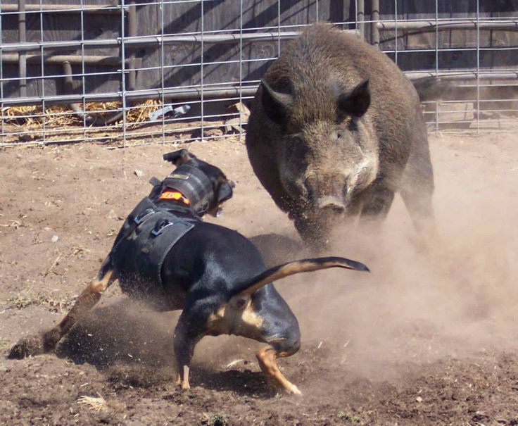 catahoula cur baying a hog