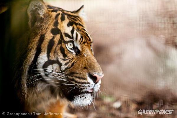 Empieza un movimiento para salvar el hogar del tigre de Sumatra, ¿te apuntas? | Greenpeace España