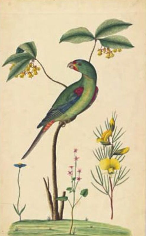 Swift Parrot, Lathamus discolor, by First Fleet artist George Raper, 1788…