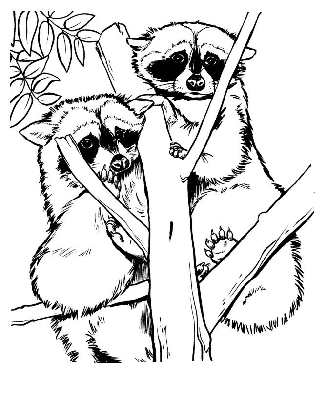 racoon coloring pictures and sheets these free printable zoo animal coloring sheets of zoo animals pictures are fun for kids - Chester Raccoon Coloring Page