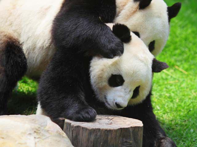 NEWSru.co.il :: Фото :: Гигантские панды Sex gigant-Lu Lu