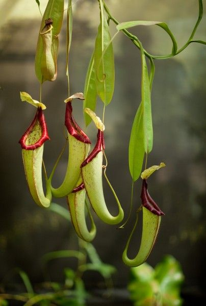 Pitcher Plants - Carnivorous plants whose trapping mechanism is a cavity filled with liquid, which breaks down prey once it falls into the crevasse. - At Frederik Meijer Gardens & Sculpture Park