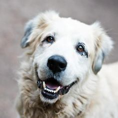 12/2016 😊💙💙💙💙😊Bootsie - Great Pyrenees/Anatolian Shepherd mix - Male - Born : 2008 - Friends For Life Animal Shelter & Sanctuary - Houston, TX. - http://www.friends4life.org/adopt/adoptable-dogs - https://www.facebook.com/FriendsForLifeHouston/ - http://www.adoptapet.com/pet/15637257-houston-texas-great-pyrenees-mix - https://www.petfinder.com/petdetail/35213053