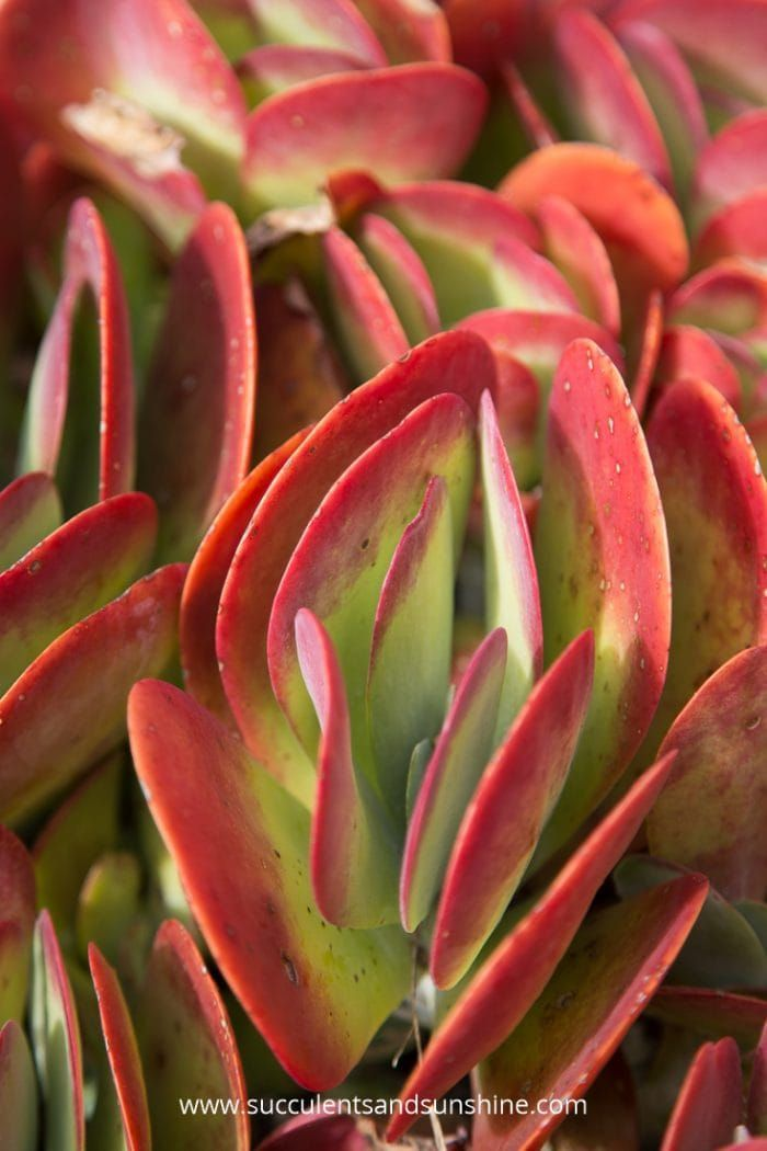 Where To Colorful Succulents Online And