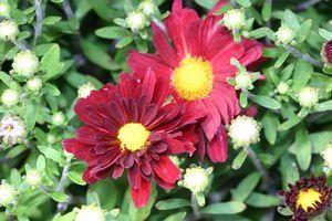 Chrysanthemum morifolium (Garden Mum)