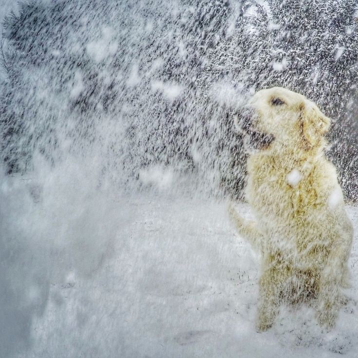 GoPro dog and snowing, snow, golden retriever