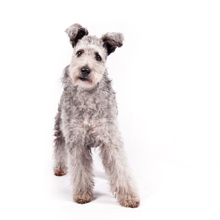 The pumi, a high-energy Hungarian herding dog, is the latest new breed headed to the Westminster Kennel Club and many other U.S. dog shows.
