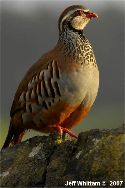 Red-legged Partridge (Alectoris rufa) Photo by Jeff Whittam