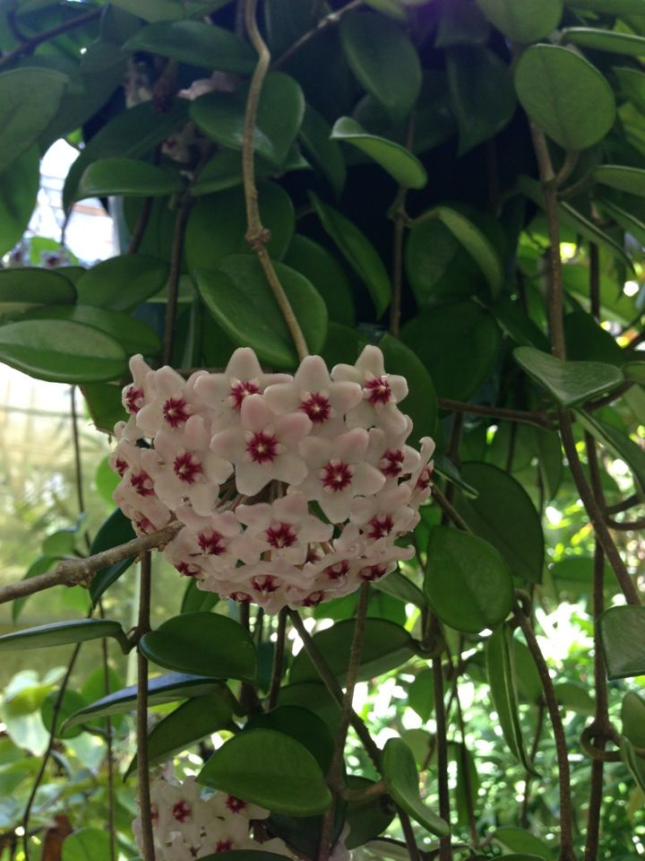 Hoya plant. All this time I thought this unique plant from my Gram was a lipstick plant!