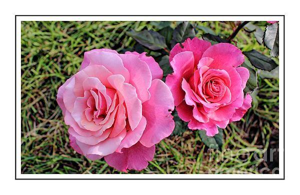 Portrait of sister roses