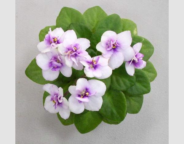 African Violet Cupid S Arrow Senpoliya Cvetki Orhidei Afrikanskaya Fialka