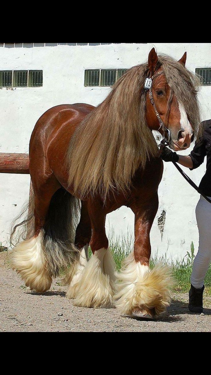 "This is a Gypsy Cob.  Please Do NOT call the breed of animal a ""Gypsy Vanner"".  This was made up by one man for profit and trademarked.  ""Gypsy COB"" is the correct breed.  Breed Registry is the TGCA in UK.  The Gypsy Cob Association of UK.  Thank You."