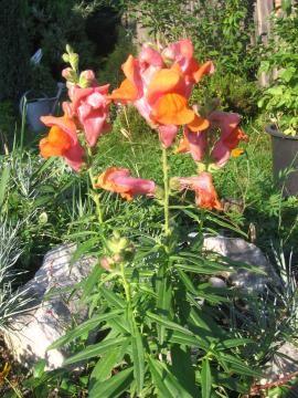 Ogrodnik-amator. Amatorska uprawa ogrodu-galeria roślin ogrodowych