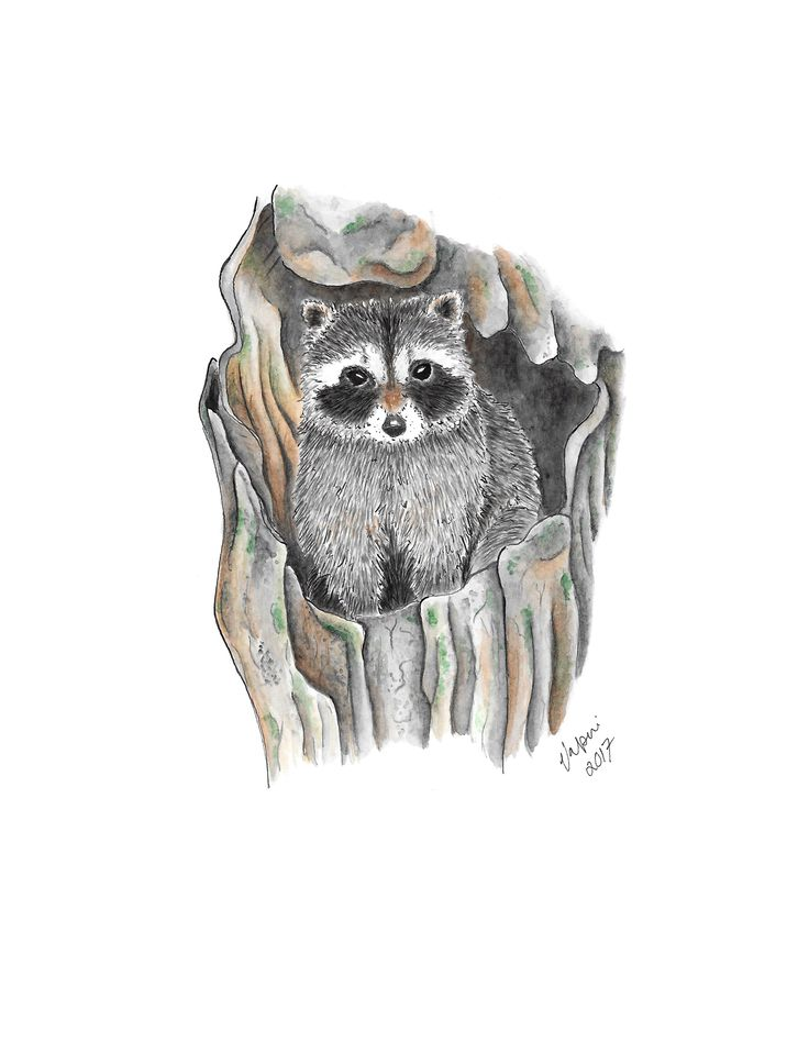 Raccoon aquarelle. Tools used Winsor & Newton watercolors and ink